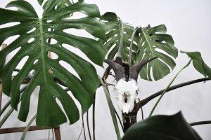 Monstera deliciosa; jenis tanaman dekoratif atau tanaman indoor