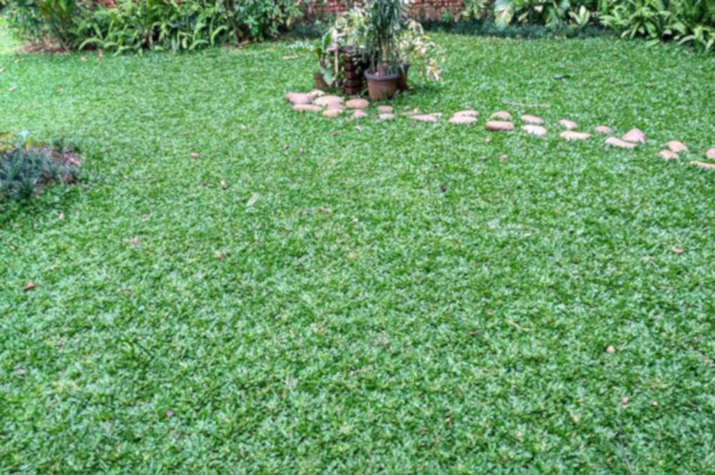 rumput gajah untuk taman rumah