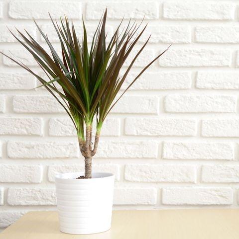 tanaman hias dracaena dragon tree