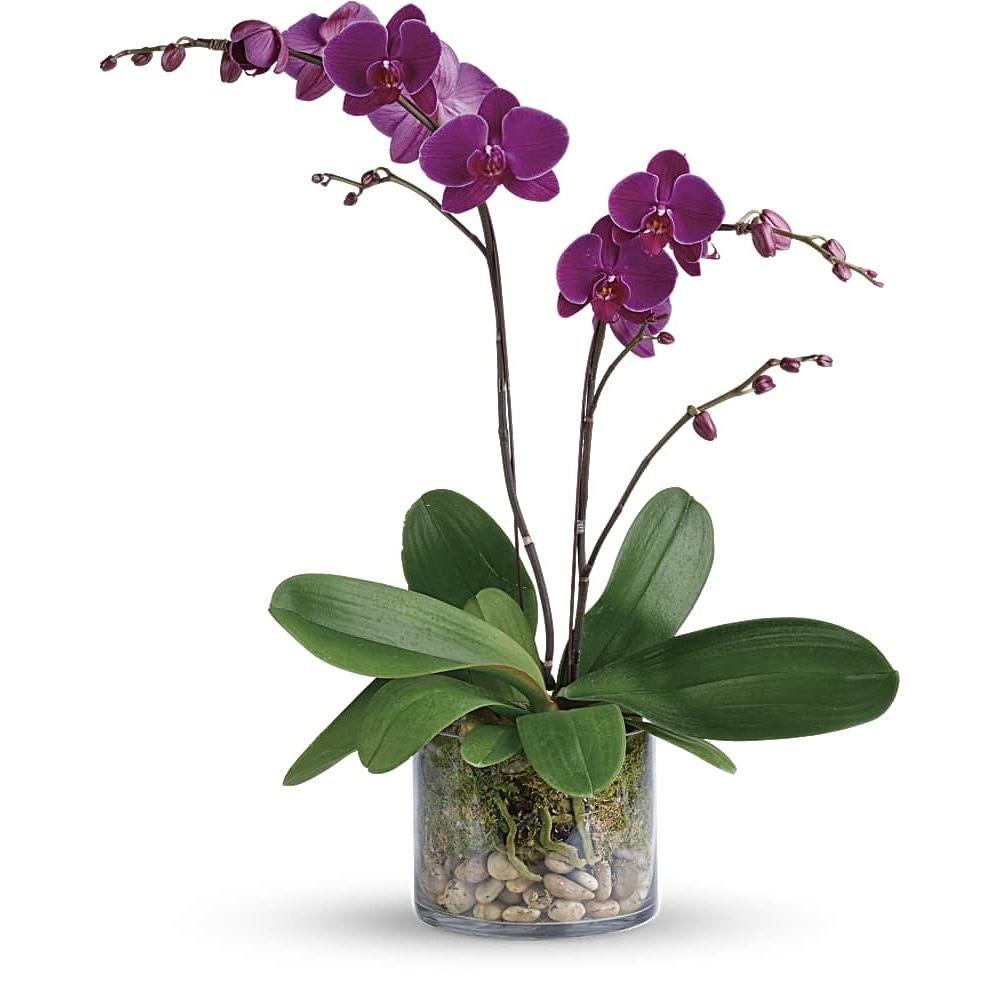 tanaman hias sesuai zodiak aries