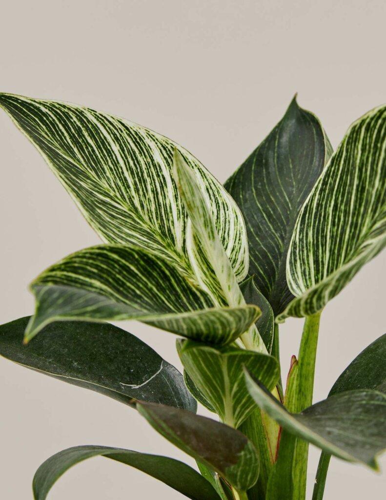 tanaman sesuai zodiak gemini