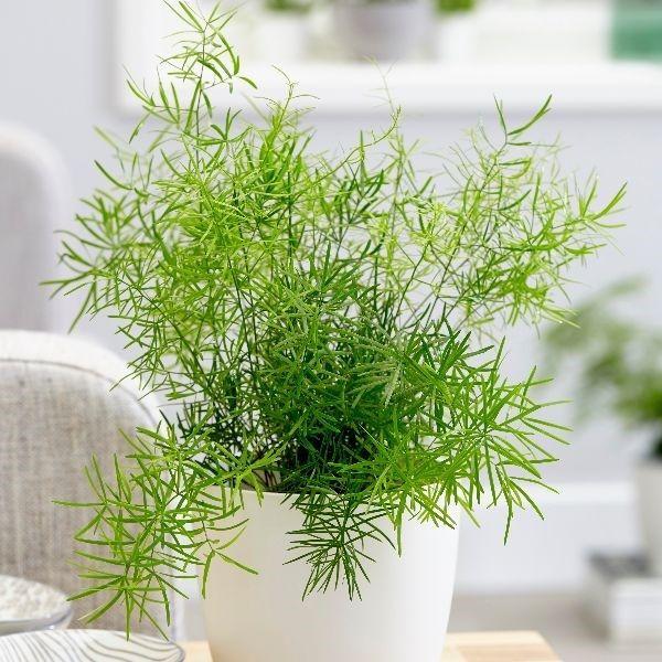 tanaman kamar mandi pakis asparagus