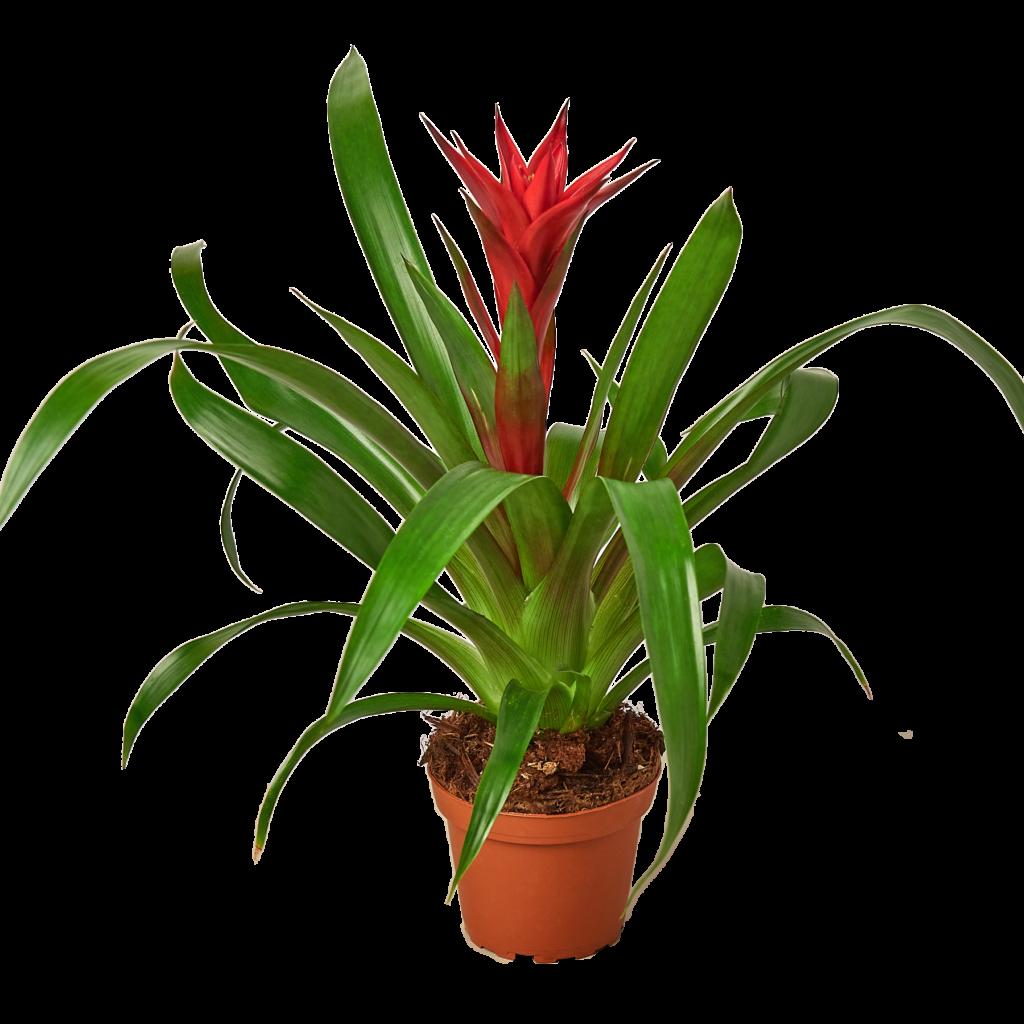 tanaman kamar mandi bromeliad